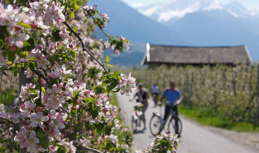 Frühlingserwachen im Zeichen weißer Apfelblüten